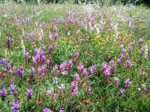 crimea flowery field
